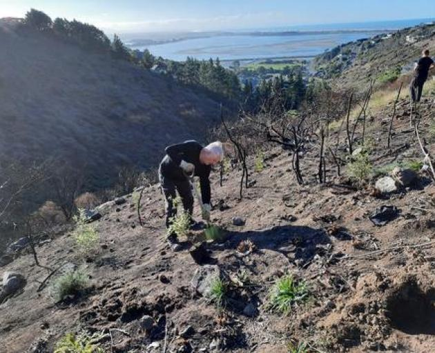 Volunteers replant trees at Drayton Reserve after a fire in January decimated the area and...