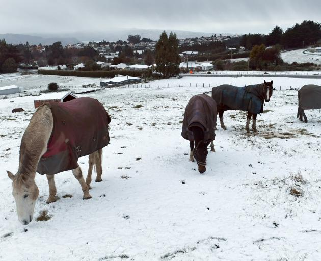 Horses graze in the thin layer of snow which fell on Three-Mile Hill overnight. Photo: Stephen Jaquiery