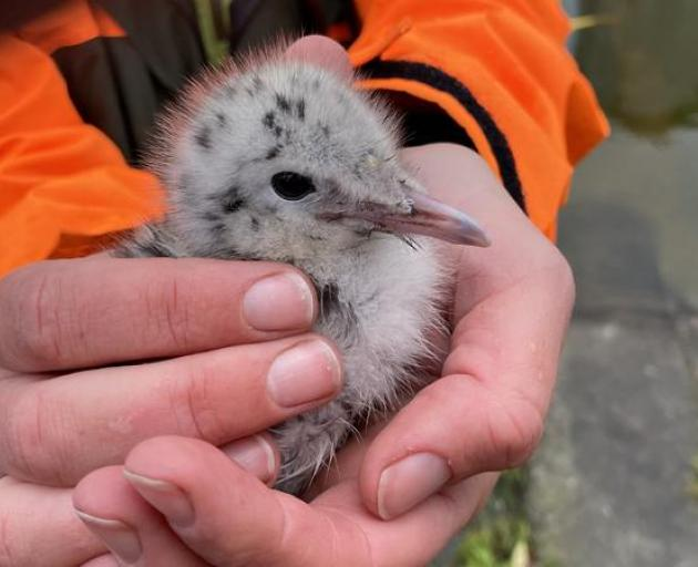 An endangered black-billed gull chick. Photo: Supplied / DOC