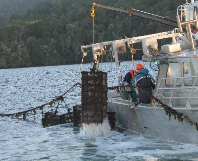 Tonnes of oysters are being removed from Big Glory Bay. Photo: Southland Express