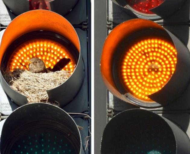 The traffic light in Crawford St, Dunedin, with its blackbird nest on Wednesday and without it yesterday. Photos by Stephen Jaquiery.