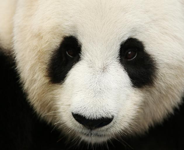 The panda - a heavyweight champion in nature. Photo: Getty Images