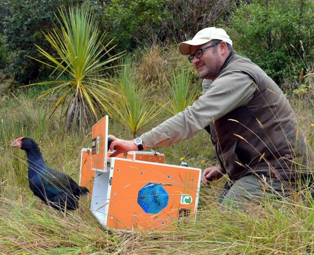 Marokopa, a female takahe, is released by Orokonui Ecosanctuary conservation manager Elton Smith yesterday. Photos by Gerard O'Brien.