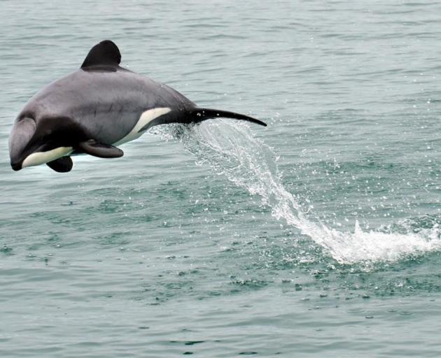 A Hector's dolphin frolicks off Taiaroa Head on Sunday. Photo: Stephen Jaquiery.