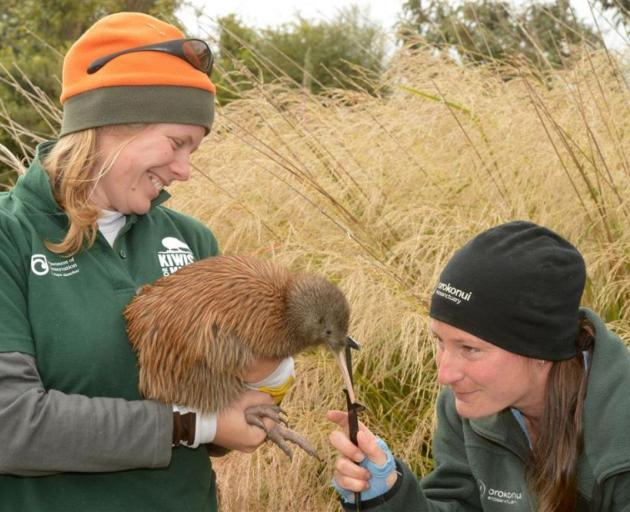 Department of Conservation biodiversity ranger Rose Hanley-Nickolls, of Haast, holds a tokoeka kiwi while Orokonui Ecosanctuary head ranger Kelly Gough, of Dunedin, measures the length of its beak before it was released back into the wild. PHOTO: STEPHEN