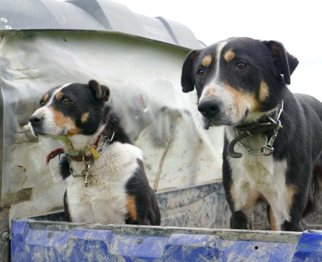 Dogs await the call to action during the tailing drive. Photo: Richard Davison