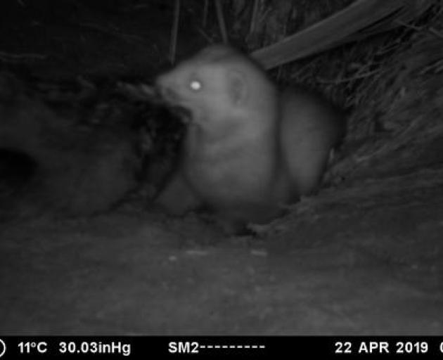 A ferret slipped through the trapline in April, killing the monitored chicks. Photo: Supplied...