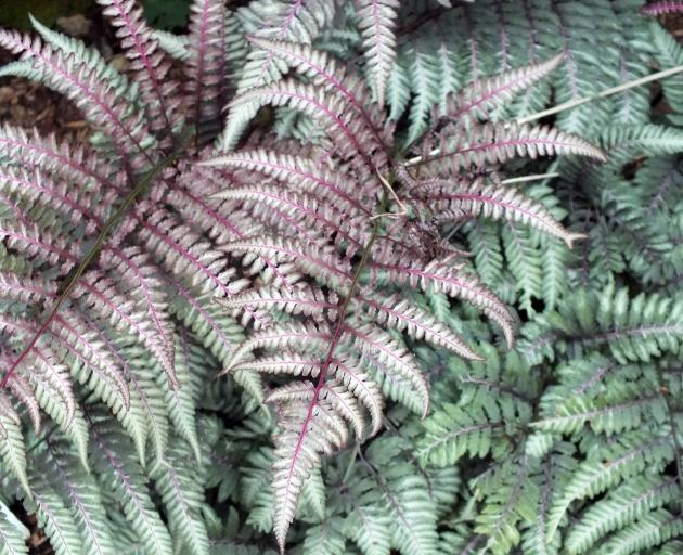 Ursula's Red is a striking form of Japanese painted fern.