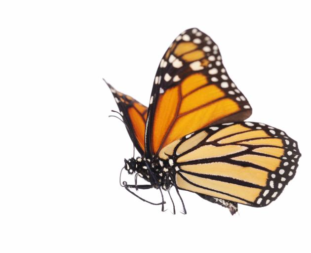 The Monarch butterfly. Photo: Getty Images