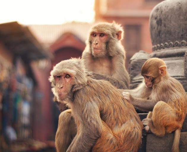 Photo: Monkeys are a common sight at temples in Asia. Photo: Getty Images