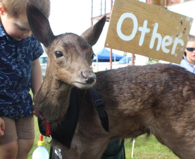 Fallow deer fawn Lethan waits with his owner Hudson Forde at the pet competition.