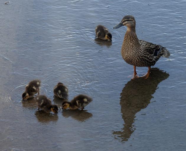 A mum and her ducklings in Albert Stream. Photo: Geoff Sloan
