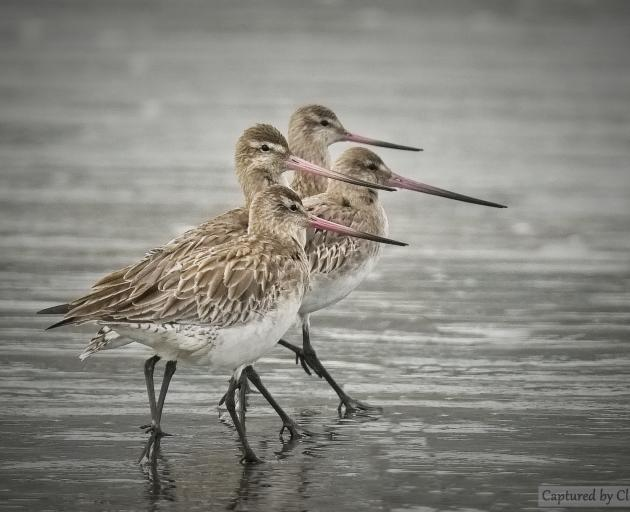 Hundreds of godwits travel across the globe each year to spend their summer at South Shore Spit....