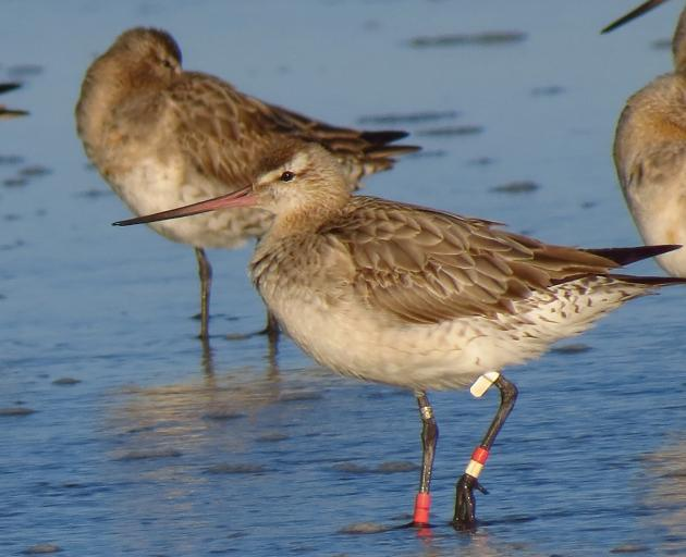 The first of the bar-tailed godwits from Alaska have arrived at their feeding grounds, with...