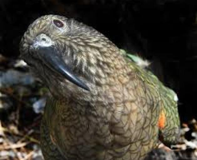 Kea were found playing with non-toxic pre-feed baits laid before 1080 was dropped on the area....
