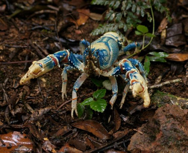 The bigger the Lamington spiny crayfish grows, the brighter the colouring. Photo: Wikipedia