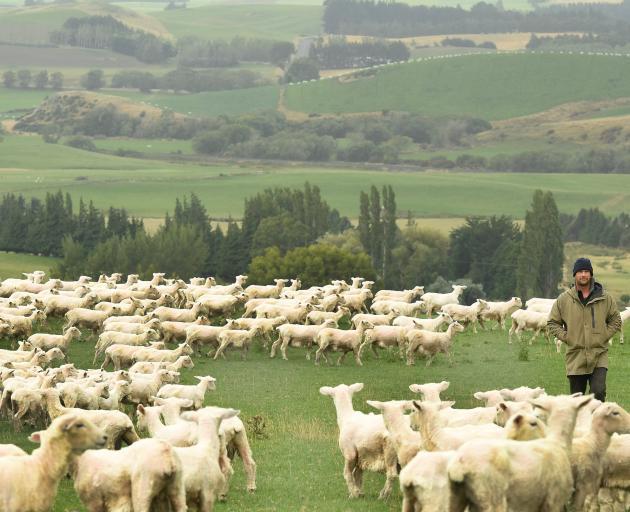 Ryan McKenzie checks some sheep.