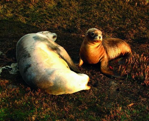 A fur seal mother and her pup. PHOTO: MARCHELL  LINZEY