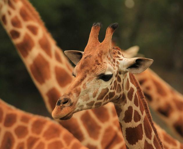 Orana Wildlife Park's new 20-month-old female giraffe, Kamili. Photo: Orana Wildlife Trust