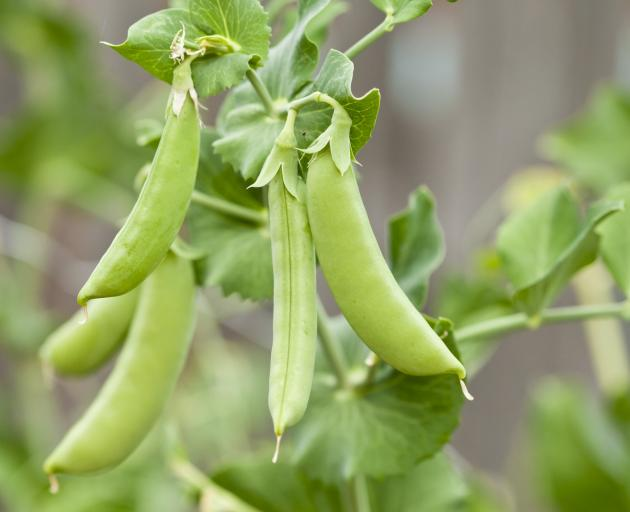 Peas do best in trenches filled with rich soil and compost topped with ordinary soil. Photo:...