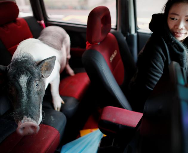 Pet pig Ge Ge gets a ride home with owner Guo Sheng-Syuan after a trip to the vet in Taoyuan....