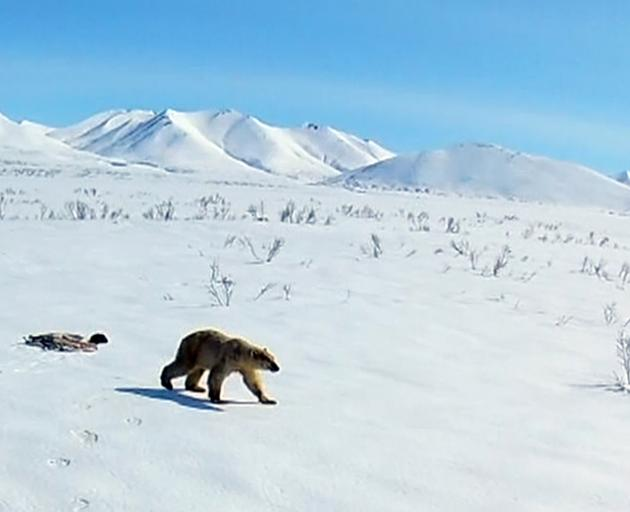 The polar bear was returned to its home in Chukotka. Photo: AP
