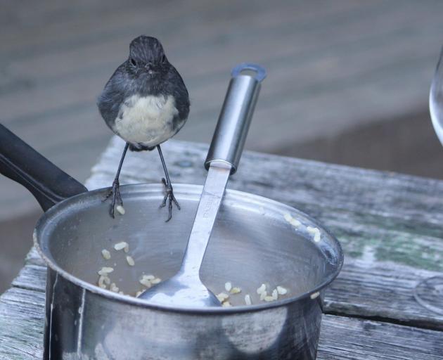 A South Island robin contemplates a feast at Paradise. Photo: Mandy Groshkin