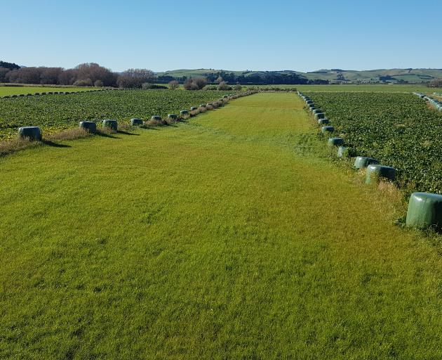 The strip winter grazing system of dairy farmers Peter and Emma Hammond in Central Southland this...