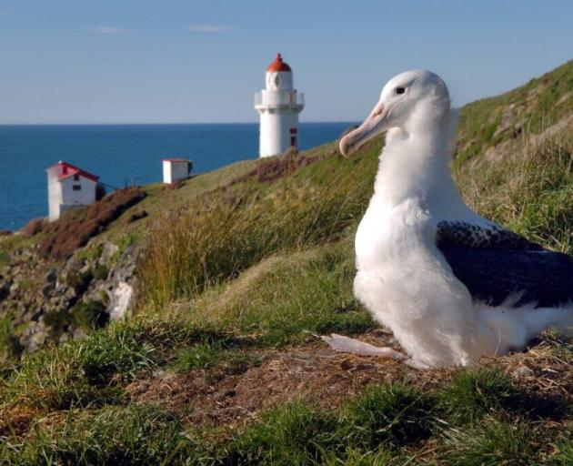 Albatrosses on Otago Peninsula are seriously threatened by plastic. Photo: supplied