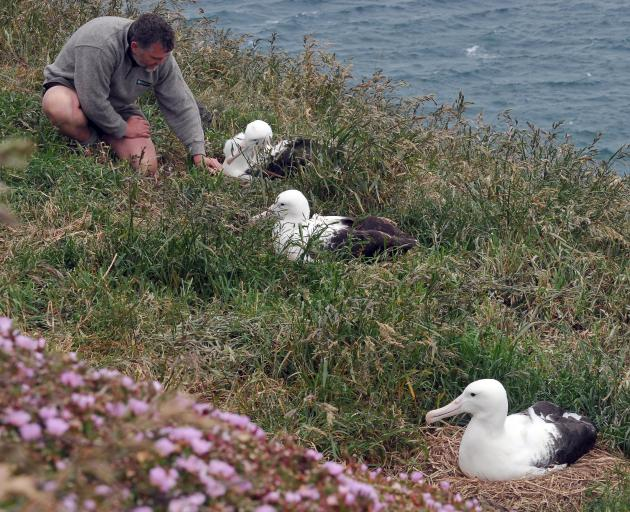 Department of Conservation ranger Lyndon Perriman checks on one of 27 fertile albatross eggs laid at Taiaroa Head this month. Photo by Craig Baxter.