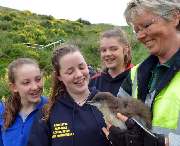 Dunedin high school pupils (from left) Abby McMullan (14), from Queen's High School, Maia Campbell (15), from Bayfield High School, Sophie Palmer (14), from Queen's High School, and Dr Hiltrun Ratz tag a little blue penguin at Pilots Beach on Tuesday. Pho