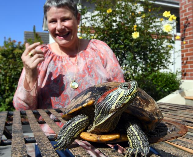 Paula Ramage with Shelly the red-eared slider turtle  in Dunedin yesterday. Photo: Stephen Jaquiery.
