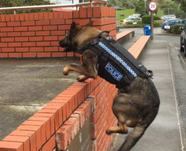 Police dog Dakota in action while wearing a stab-resistant harnesses. Photo: NZ Police