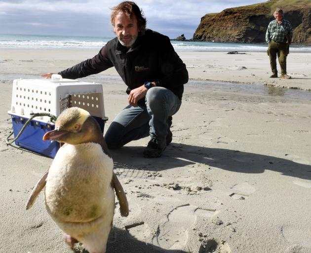 Elm Wildlife Tours co-owner Shaun Templeton releases Buster the yellow-eyed penguin on Little...