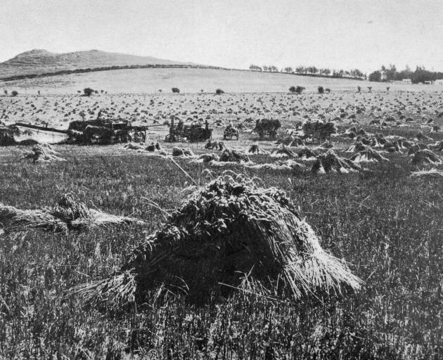 A threshing mill at work in a splendid crop of Dreadnought wheat on Mr Burrell's property at Totara, North Otago. The yield was 60 bushels to the acre. - Otago Witness, 14.3.1917.