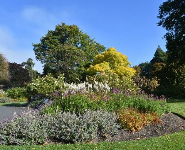 The Dunedin Botanic Garden's golden ash. PHOTO: Gregor Richardson