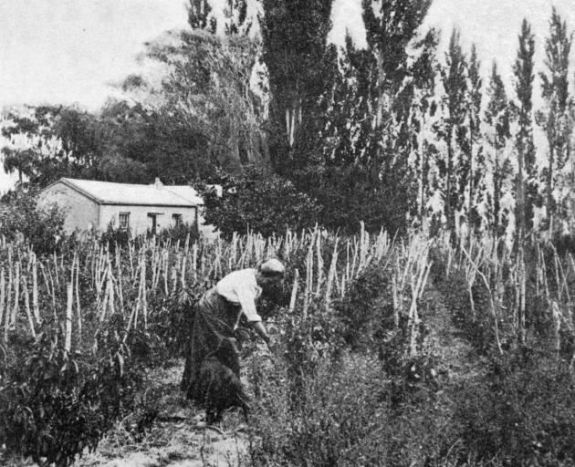 Gathering tomatoes in an Alexandra orchard. - Otago Witness, 16.5.1917.
