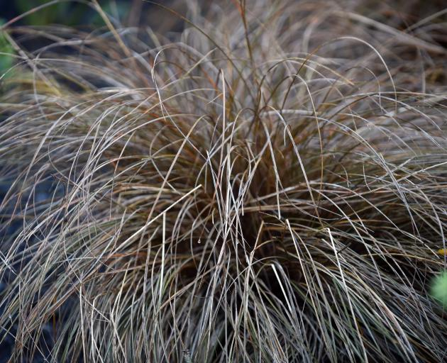 Carex Flagellifera. Photo: Peter McIntosh.