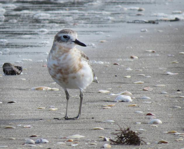 Numbers of New Zealand dotterels feed and breed along the seashore at Okoromai Bay in Shakespear...