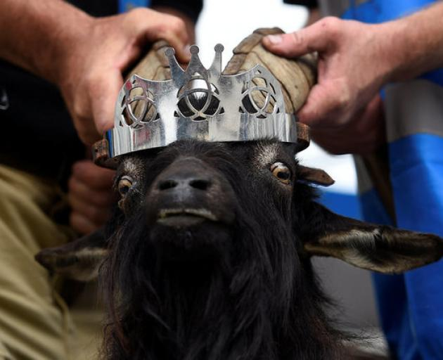 A crown is affixed to a wild goat as it is crowned King Puck and will be held on a platform above the town for three days in Killorglin. Photo: Reuters