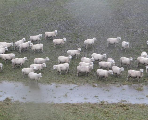 Bedraggled sheep seek shelter from the rain in Waianakarua, on July 21. Photo: Shannon Gillies