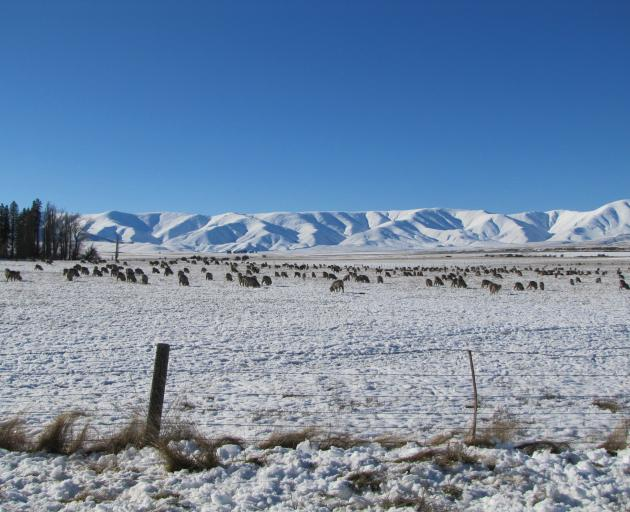 Sheep and beef farmers are most concerned about commodity prices; pictured, stock against the backdrop of the Hawkdun Range in the Maniototo in July. Photo: Pam Jones