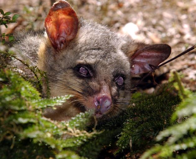 Controlling our pests is one step to improving the environment, candidates say. Photo: Otago Daily Times