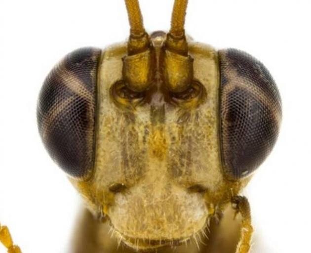 University of Auckland doctoral student Tom Saunders has described a species of native wasp and named it after a character from the Harry Potter series, Lucius Malfoy. Photo: Supplied