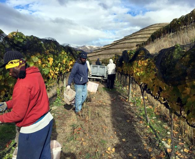 Workers pick grapes in April 2015 as winter closes in early at Mt Difficulty's vineyard at Bannockburn. Photo: Supplied