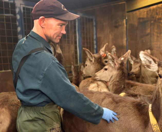 Jamie Ward works with deer at AgResearch's Invermay farm. PHOTO: PETER MCINTOSH