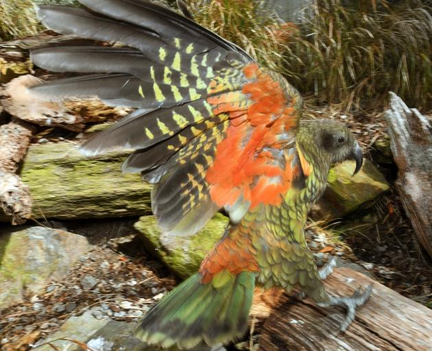 This kea held at the Dunedin Botanic Garden's aviary will not be allowed to breed as the...