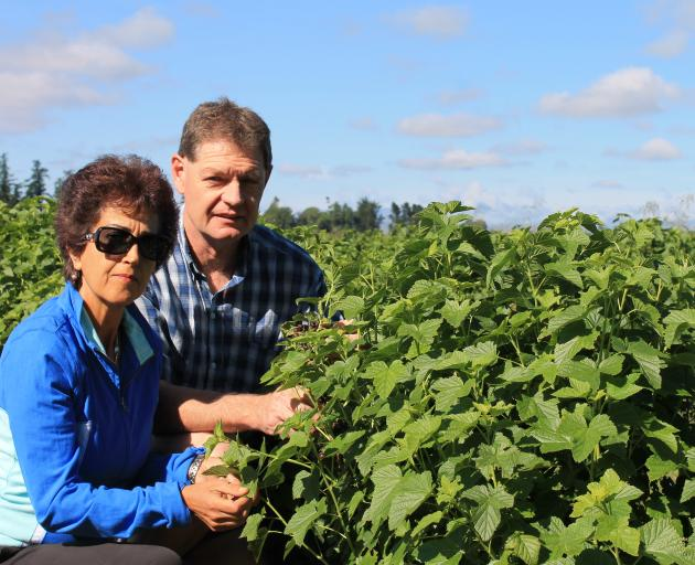 Afsaneh and Tony Howey check one of their crops of currants at their Pleasant Point property. Photo: Supplied