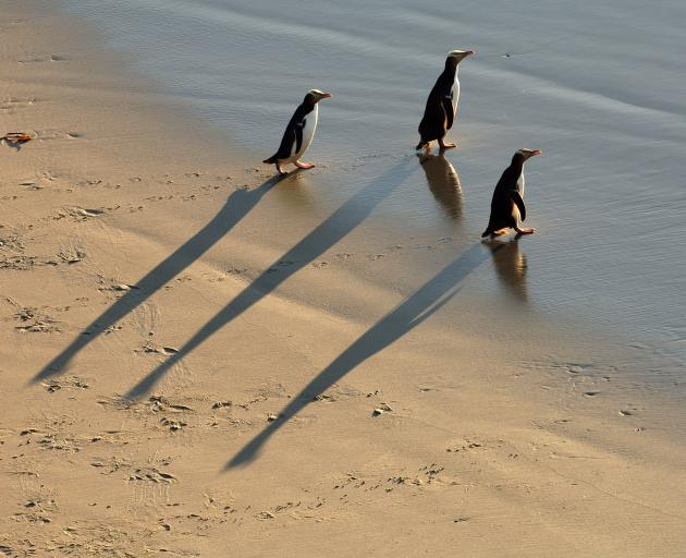 Penguins head out to sea. Photo: Stephen Jaquiery