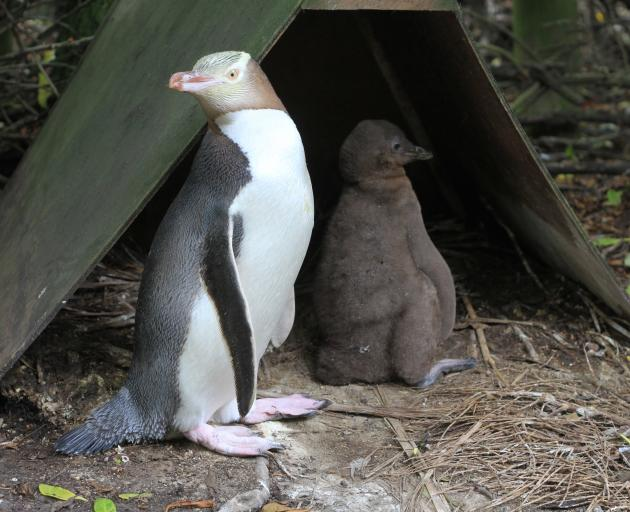 When they are about 5 weeks old, yellow-eyed penguin chicks'  immune systems  can resist avian diphtheria. About three-quarters of the chicks at Moeraki were treated for the disease this year. Photo: Hamish MacLean